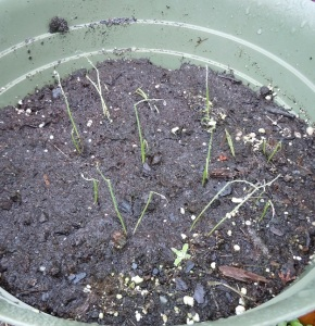 Green Onions, Trying to Grow