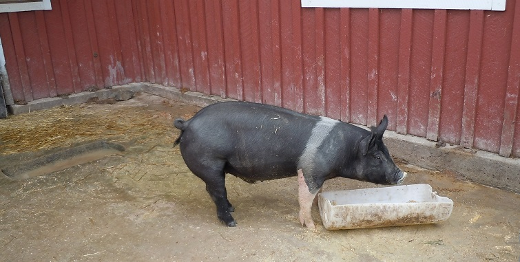 Pig, Eating